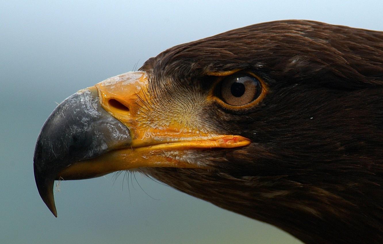 Фото обои сила, птица, орел