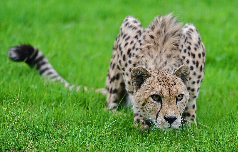 Фото обои трава, хищник, гепард, крадётся