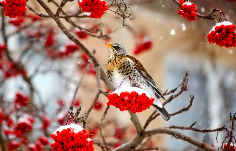Фото обои зима, снег, ягоды, птица, ветка, рябина