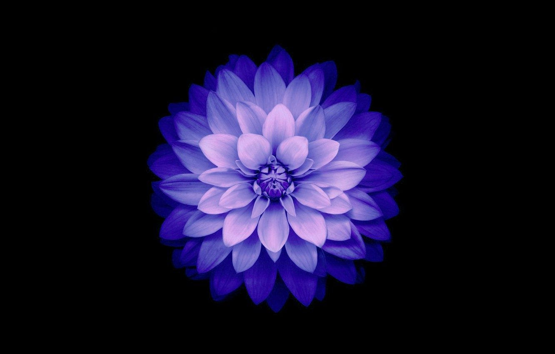 Фото обои цветок, фон, лепестки, Blue, IOS 8