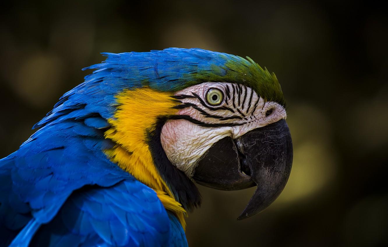 Фото обои птица, попугай, Сине-жёлтый ара