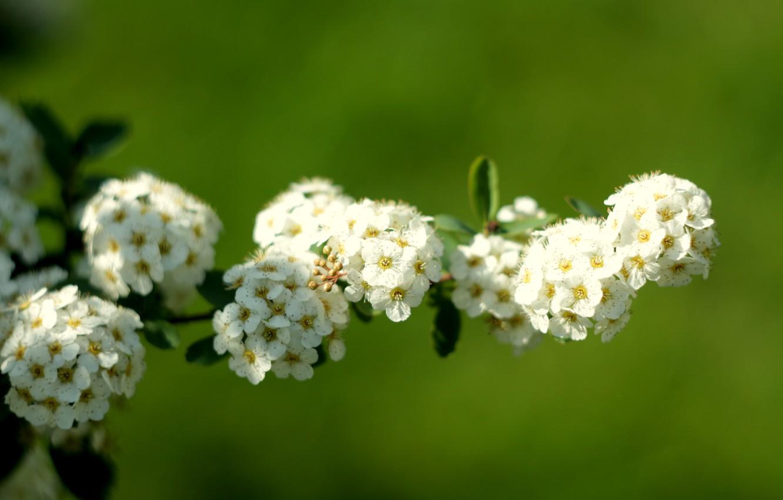 Фото обои белый, макро, весна, тычинки, невеста, цветки, соцветия, кустарник