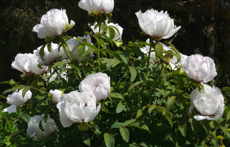 Фото обои листья, куст, белые, цветки, пионы