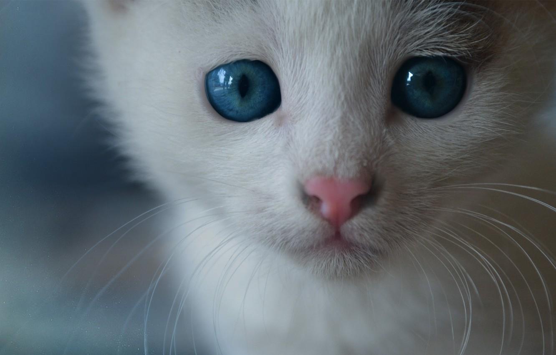 Обои котёнок, голубые глазки, мордочка. Кошки foto 7