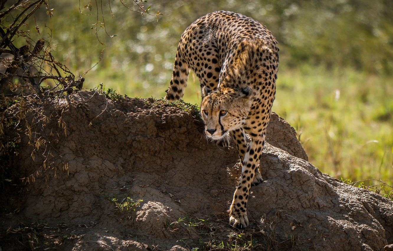 Фото обои хищник, гепард, дикая кошка