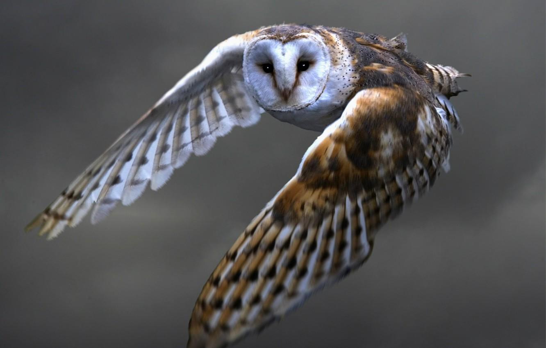 Фото обои взгляд, полет, сова, крылья, перья, Птица, взмах, сипуха