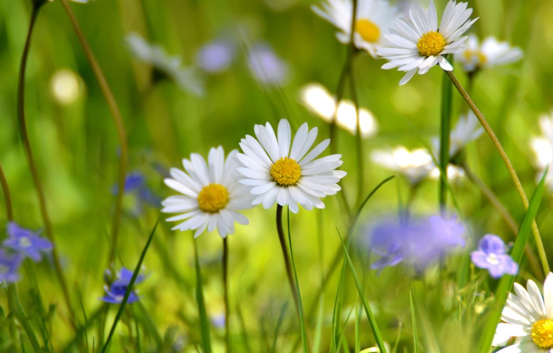 Фото обои поле, белый, лето, ромашки, луг, полевые цветы