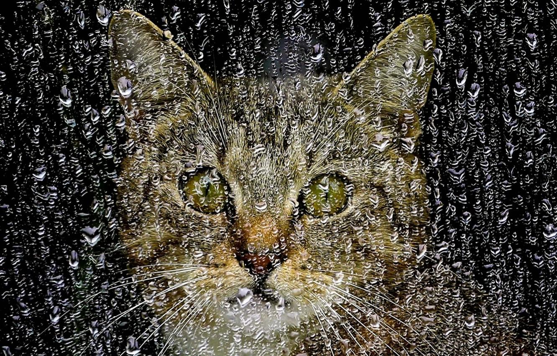 Фото обои стекло, морда, капли, дождь, Кошка, окно