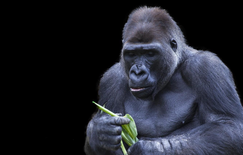 Фото обои фон, обезьяна, Gorilla