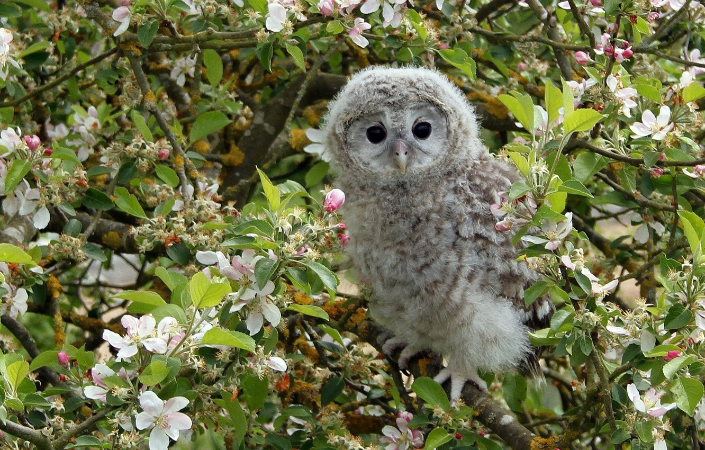 Фото обои ветки, дерево, сова, птица, яблоня, цветение, птенец, цветки, совёнок