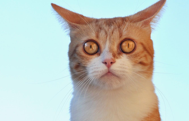Фото обои взгляд, фон, Кот, рыжий, мордочка, бирюзовый, ушастик