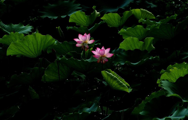 Фото обои цветок, листья, вода, пруд, лотос, Lotus, flower, water, blossom, leaves, pound