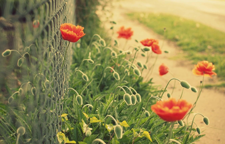 Фото обои цветы, красный, зеленый, фон, сетка, widescreen, обои, забор, мак, размытие, ограда, ограждение, wallpaper, широкоформатные, background, ...
