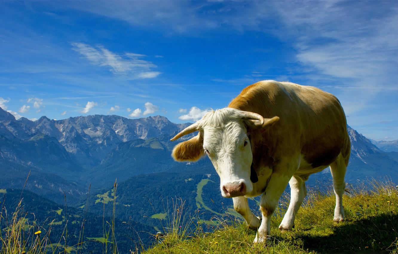Фото обои животные, небо, трава, цветы, горы, природа, пейзажи, вид, коровы, фото с животными, быки
