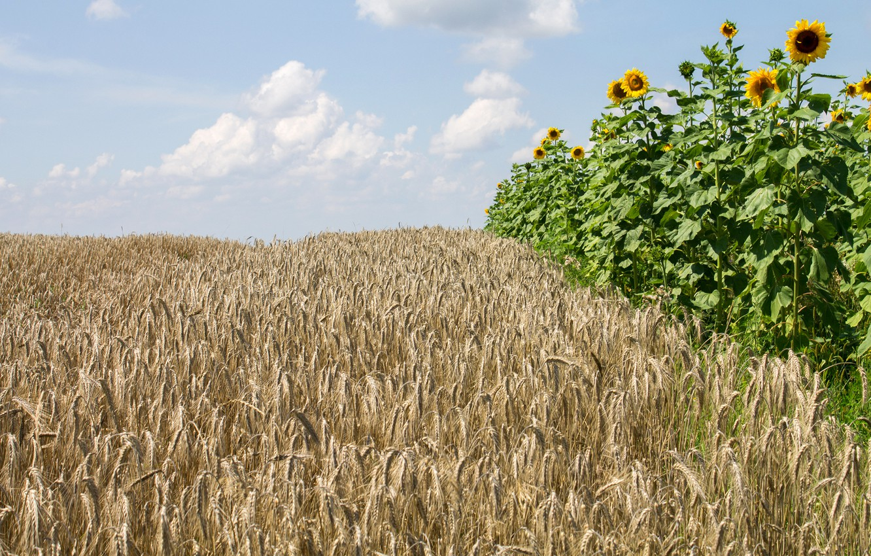 картинки пшеница и подсолнух естественного происхождения, разве