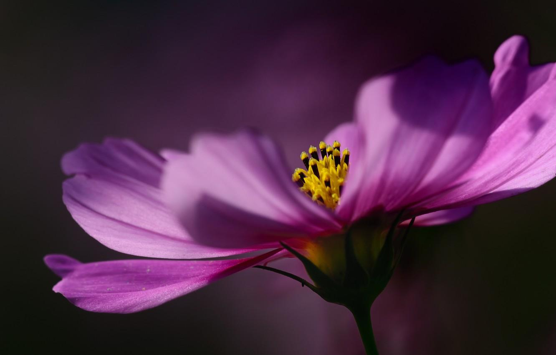 Фото обои цветок, макро, фокус, лепестки, малиновый, Космея