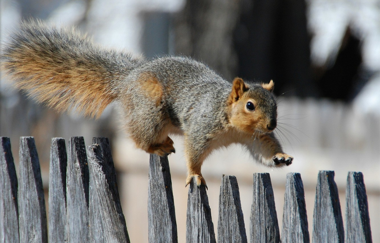 Фото обои забор, Белка, прогулка, fence, squirrel, promenade