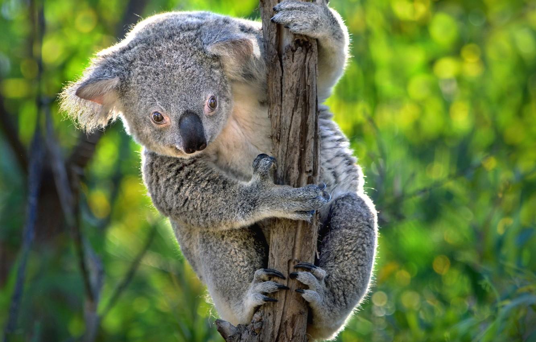 смотреть фото коала точно пожалеть
