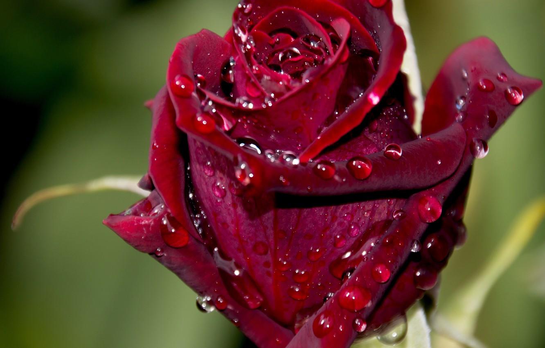 перед картинки бархатными розами популярной