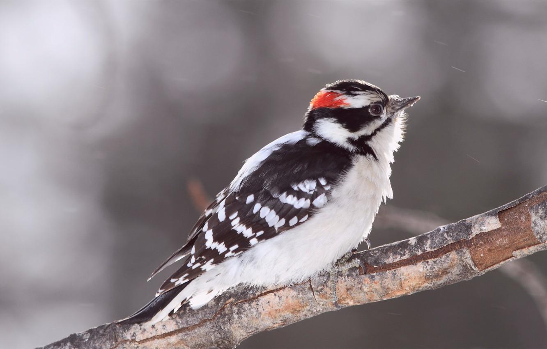 Фото обои блики, серый, фон, птица, ветка, размытость, Bird, woodpecker, пушистый дятел