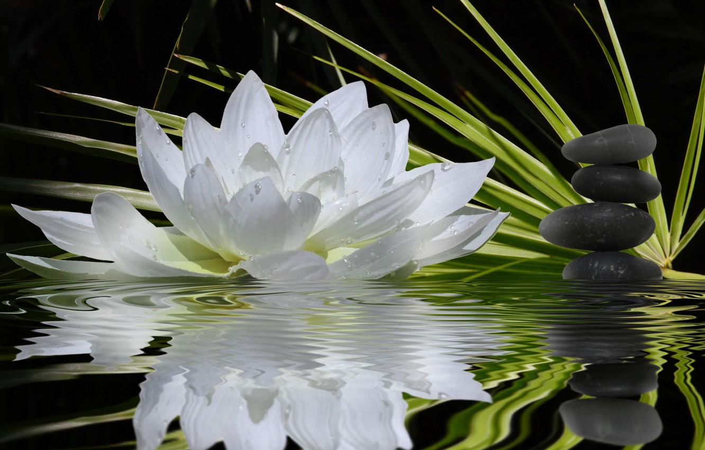 Фото обои белый, цветок, вода, отражение, камни, стебли, лотос, зеленые, гармония, черные, равновесие, плоские, водяная лилия, боке.