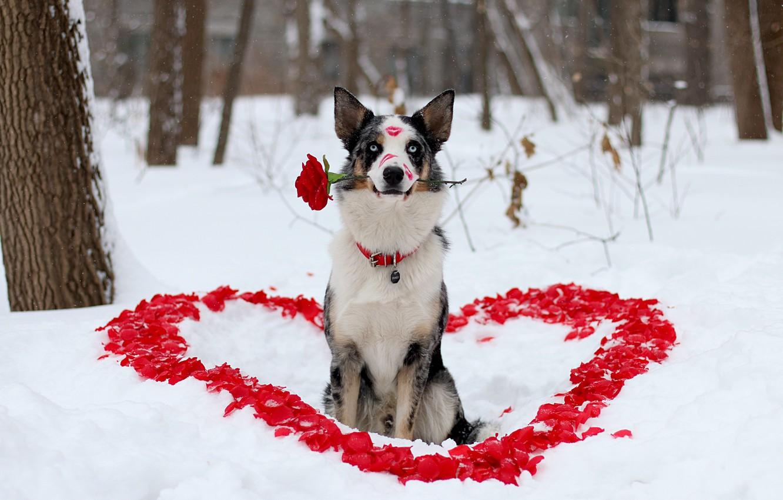 Фото обои зима, цветок, взгляд, любовь, друг, роза, собака, лепестки, помада, пёс, сердечка