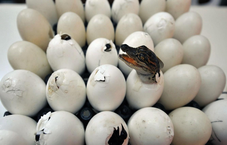 Фото обои крокодилы, лоток, рождение, яиц