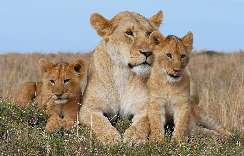 картинки лев львица львята сериал актеры выкладывались