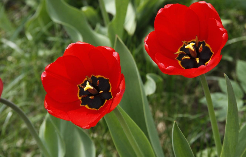 Фото обои цветы, фон, обои, тюльпан, растения, тюльпаны