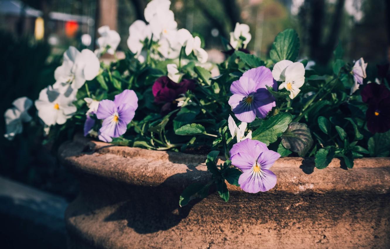Фото обои цветы, яркий, природа, парк, фото, нежный, темный, насыщенный, лепестки, горшок, анютины глазки