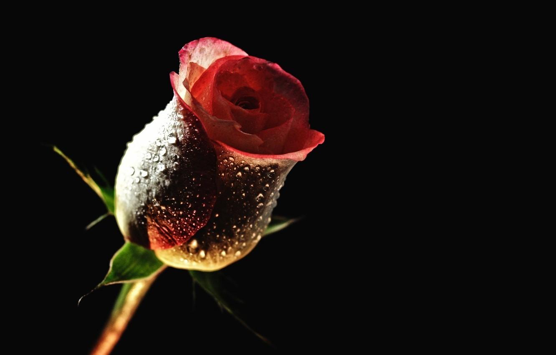 Фото обои капли, роса, обои, роза, лепестки, бутон