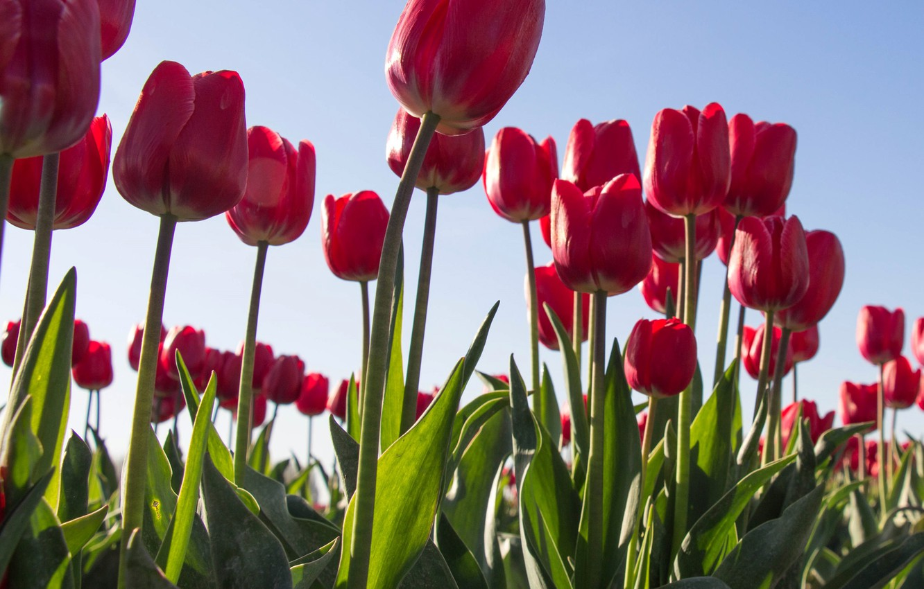 Картинки для рабочего стола компьютера тюльпаны