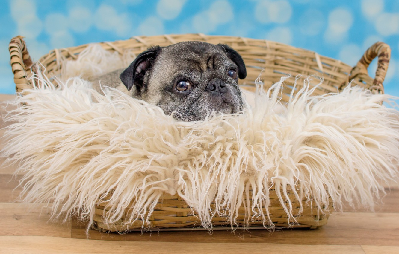 Фото обои взгляд, корзина, портрет, собака, мопс, пол, лежит, мех, мордашка, голубой фон, грустный, боке, пёсик