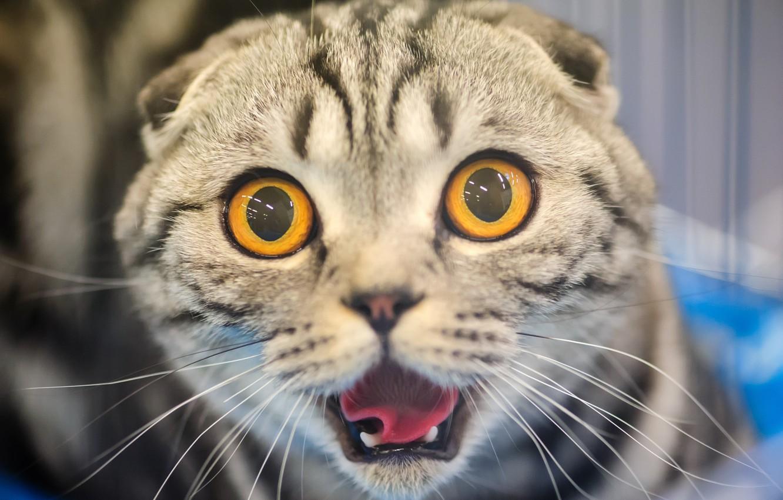 Фото обои кошка, кот, морда, испуг, ужас, глазища