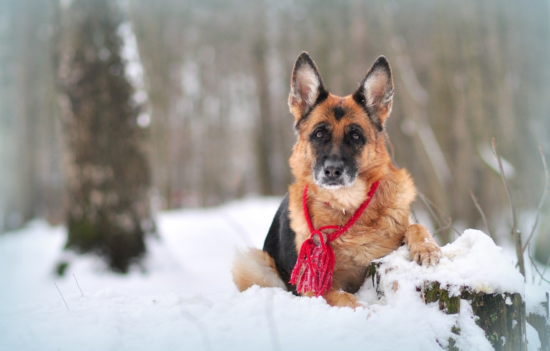Фото обои зима, снег, природа, животное, собака, овчарка