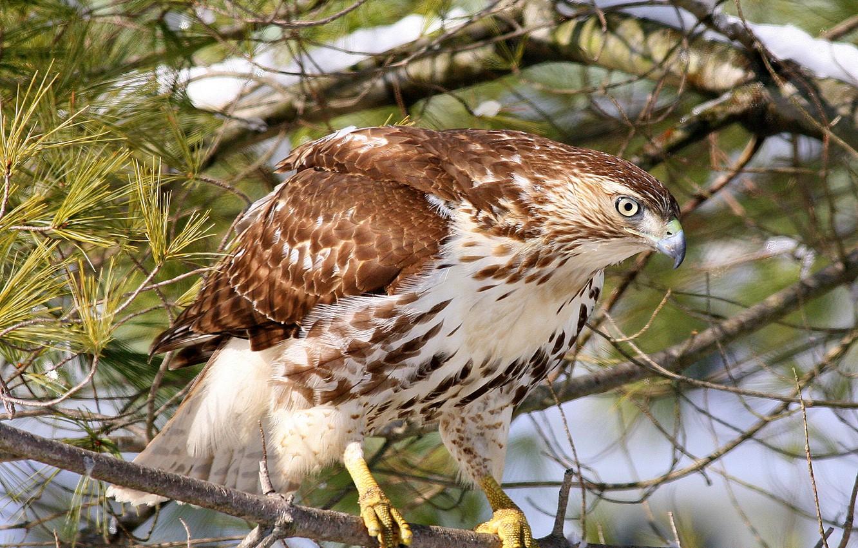 Фото обои лес, природа, птица, ветка, ястреб, канюк, краснохвостый сарыч