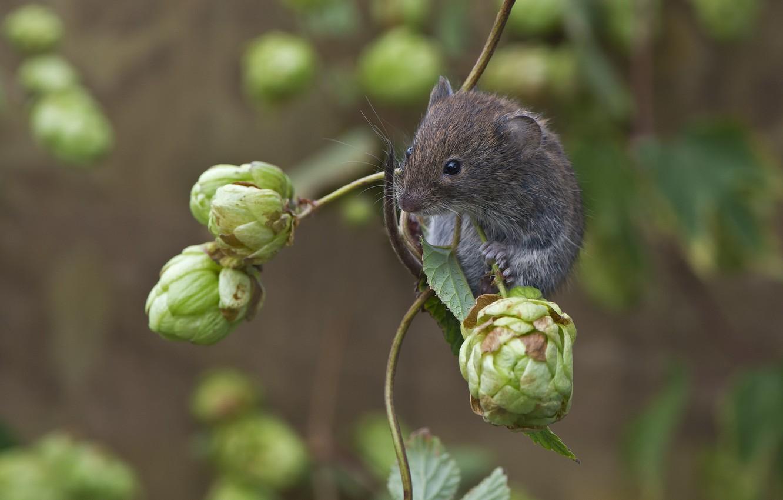 Фото обои природа, животное, ветка, мышь, шишки, грызун, хмель