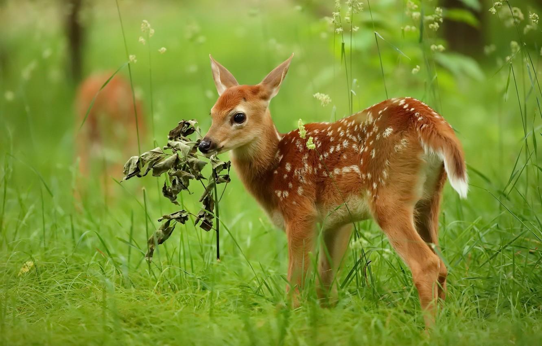 Фото обои лето, природа, олень