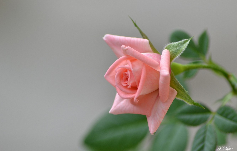 Фото обои розовая, роза, ветка, бутон, цветение