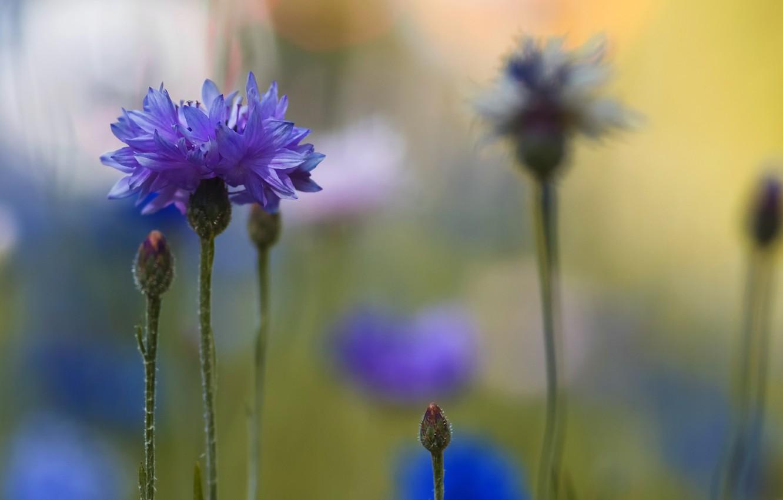 Фото обои макро, размытость, синие, Васильки