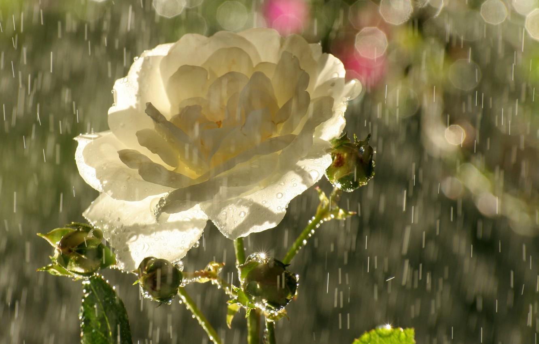 Фото обои цветок, капли, блики, дождь, роза, лепестки, бутоны, чайная