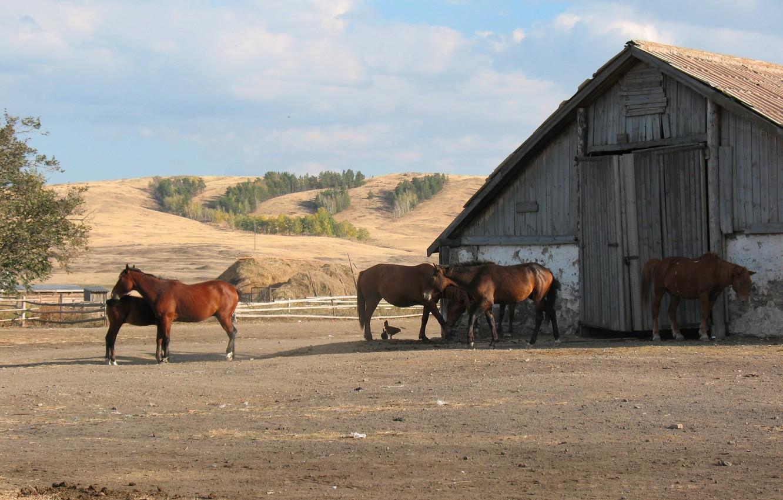Фото обои конь, лошадь, ферма, табун, казахстан, Қазақстан, конюшня, Сельское хозяйство, акмолинская