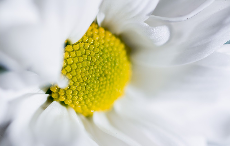 Фото обои цветок, макро, лепестки, ромашка