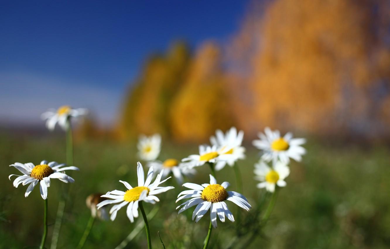 Фото обои поле, цветы, фон, ромашки
