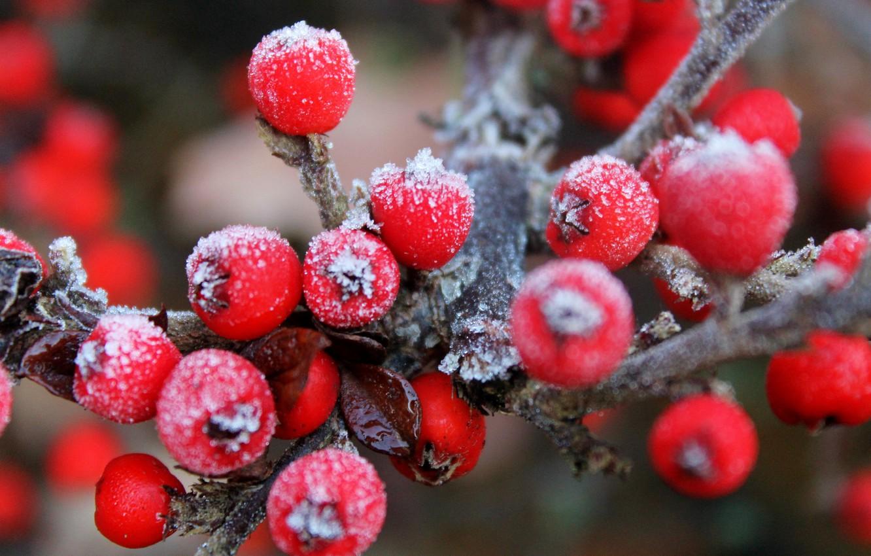 Фото обои иней, ягоды, ветка, плоды