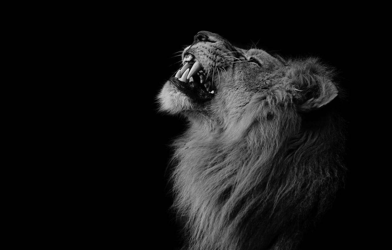 Фото обои природа, лев, зверь