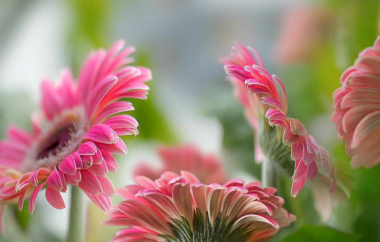 Фото обои цветы, природа, герберы