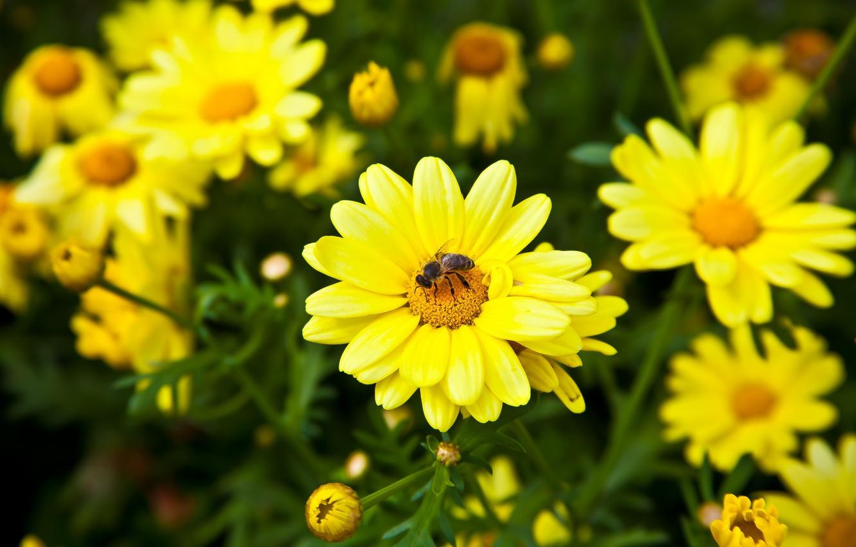 Фото обои цветы, пчела, лепестки, луг, насекомое