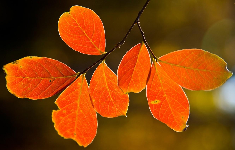 Фото обои осень, листья, природа, дерево, tree, макро leaves, nature pictures