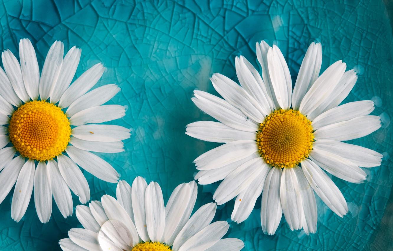 Фото обои фон, ромашки, лепестки, цветочки